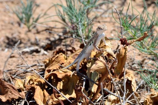 Bleached Earless Lizard (Holbrookia maculata ruthveni)