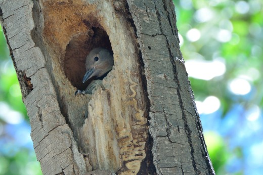 Northern Flicker (juvenile)