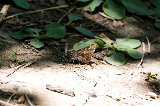 Python Skipper (Atrytonopsis python)