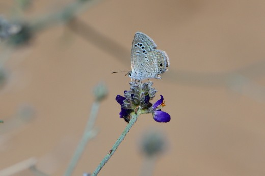 Reakirt's Blue (Echinargus isola)