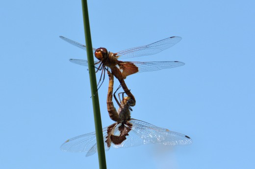 Red Saddlebags (Tramea onusta)