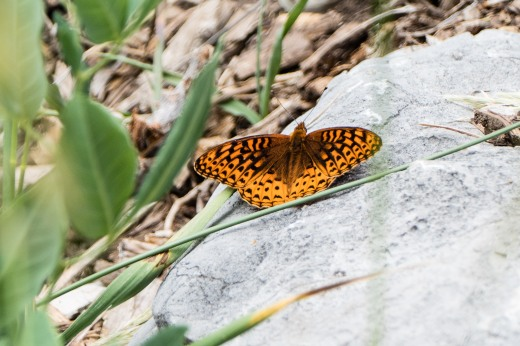 Northwestern Fritillary (Speyeria hesperis)