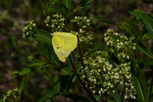 Southern Dogface (Zerene cesonia)
