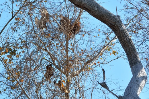 Brown Capuchins Rob a Southern Caracara Nest