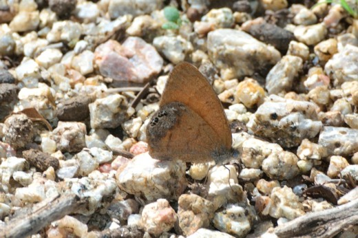 Canyonland Satyr (Cyllopsis pertepida)