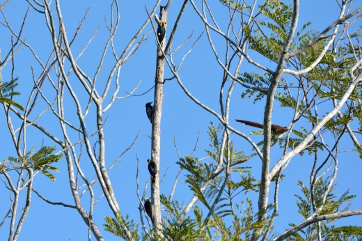 Yellow-tufted Woodpecker (l) and Squirrel Cuckoo (r)