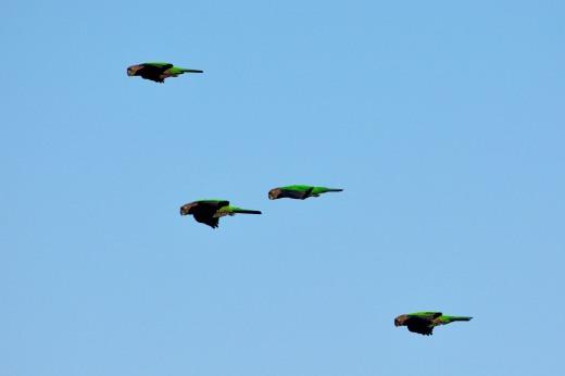 Santarem Parakeet