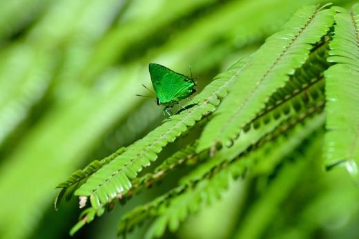 Janias Greenstreak (Chalybs janias)
