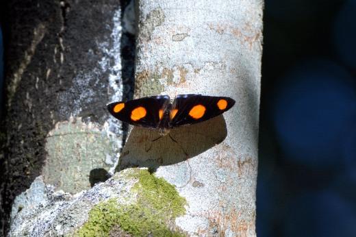 Stoplight Catone (Catonephele numilia)