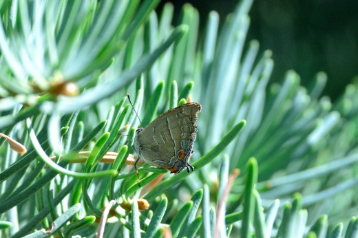 Colorado Hairstreak (Hypaurotis crysalus)