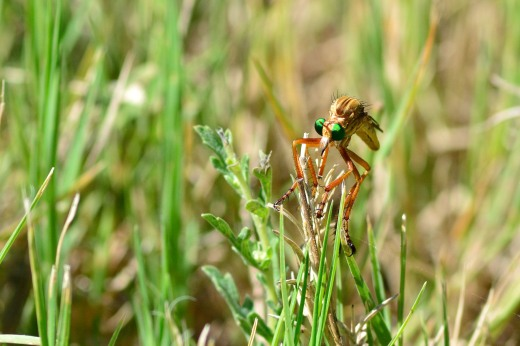 Asilidae Robber Fly