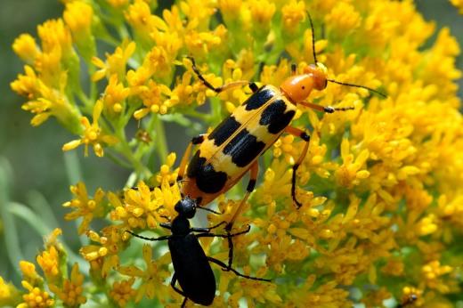 Fire Blister Beetle (Pyrota punctata)
