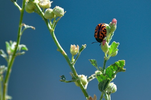Globemallow Leaf Beetle (Calligrapha serpentina)