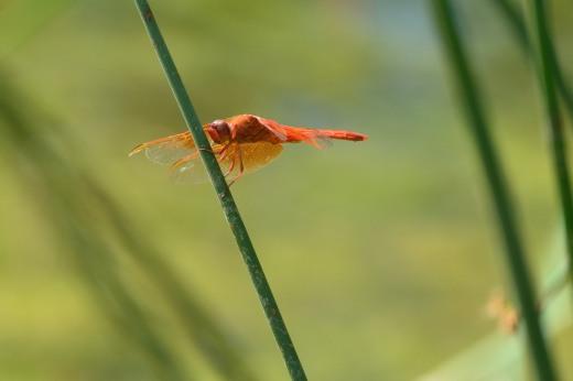 Flame Skimmer (Libelulla saturata)