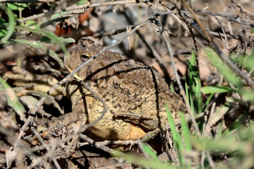Woodhouse's Toad (Bufo woodhousii)