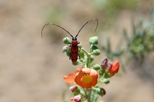 Spotted Tylosis Longhorn Beetle (Tylosis maculatus)