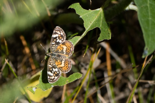 Painted Crescent (Phyciodes picta)