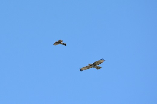 Cooper's Hawk and Red-tailed Hawk