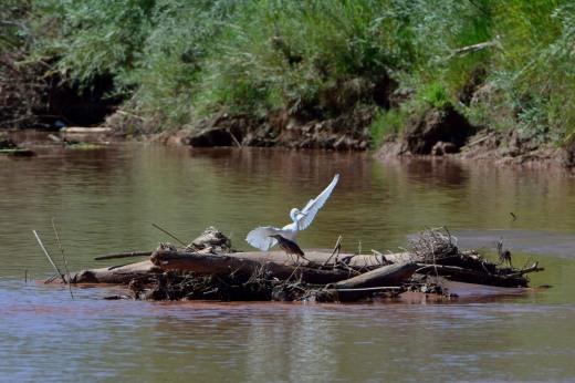 Green Heron & Snowy Egret