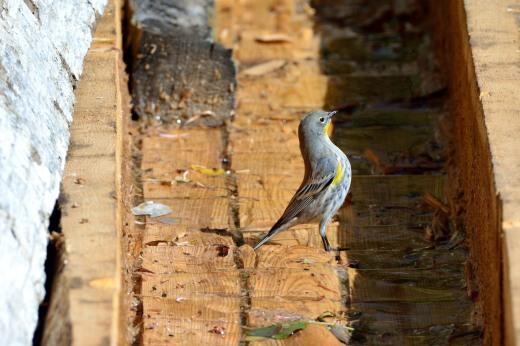 """""""Audubons"""" Yellow-rumped Warbler"""