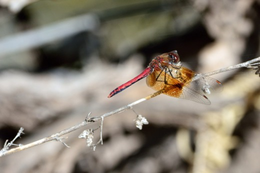 Western Meadowhawk (Sympetrum occidentale)