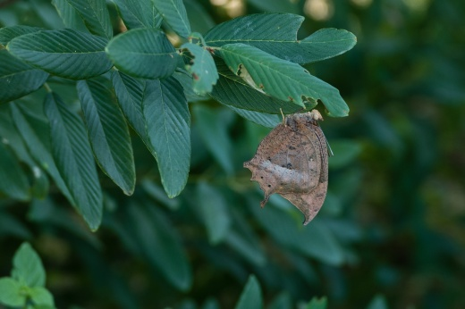 Tropical Leafwing (Anaea aidea)