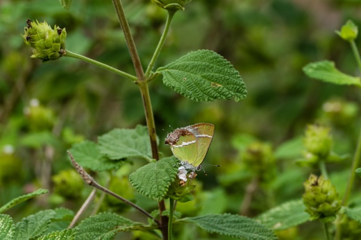 Silver-banded Hairstreak (Chlorostrymon simaethis)